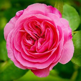 rose by Caroline Beaumont - Flowers Single Flower ( rose )