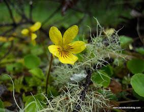 Photo: The oxymoronic Yellow Violet