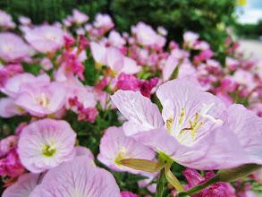 Photo: Pink flowers at Wegerzyn Metropark in Dayton, Ohio.