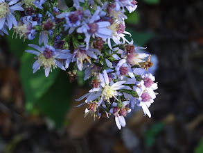Photo: heart-leaved aster