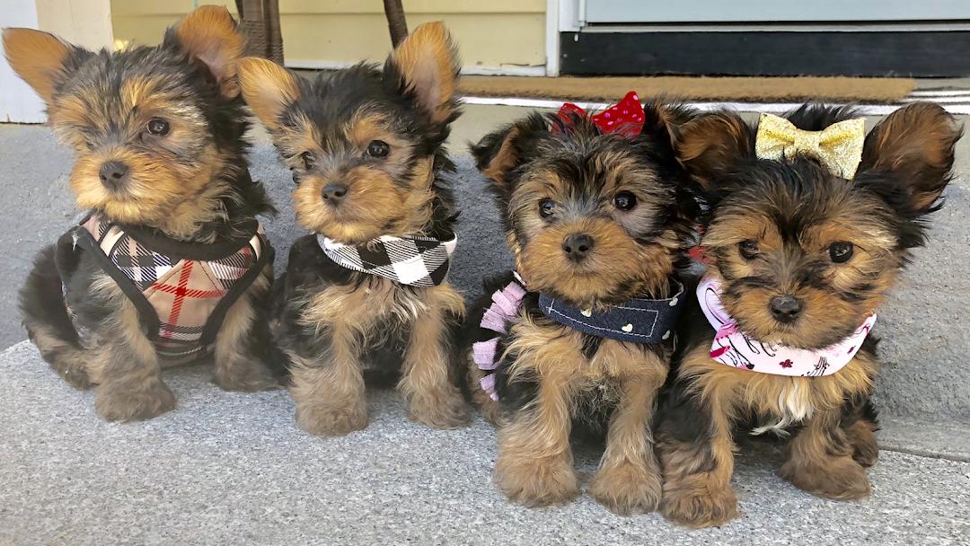 Yorkies for Sale In Massachusetts 🐾 Yorkshire Terrier In