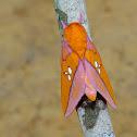 Moth - Adelowalkeria tristygma