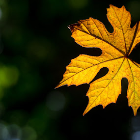 Falling by Tuan Pham - Nature Up Close Leaves & Grasses ( lovely, forest, green, leaves, yellow, autumn, leaf )