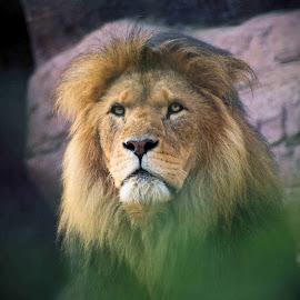 Lion  by Ian Legon - Animals Lions, Tigers & Big Cats ( resting, big cat, watching, lion, sitting,  )