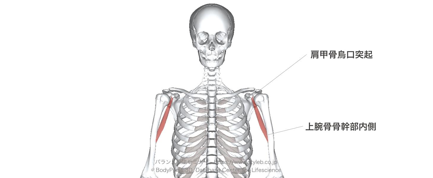 肩関節の屈曲に作用する筋肉の種...