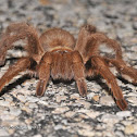 Brown tarantula