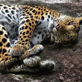 by Tran Ngoc Phuc Ngoctiendesign - Animals Lions, Tigers & Big Cats