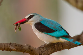 Photo: Woodland Kingfisher, Riverside Lodge, Groblersdal, South Africa