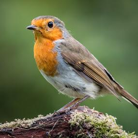 Robin by Jim Keating - Animals Birds ( bird, robin, red breast, woodland bird,  )