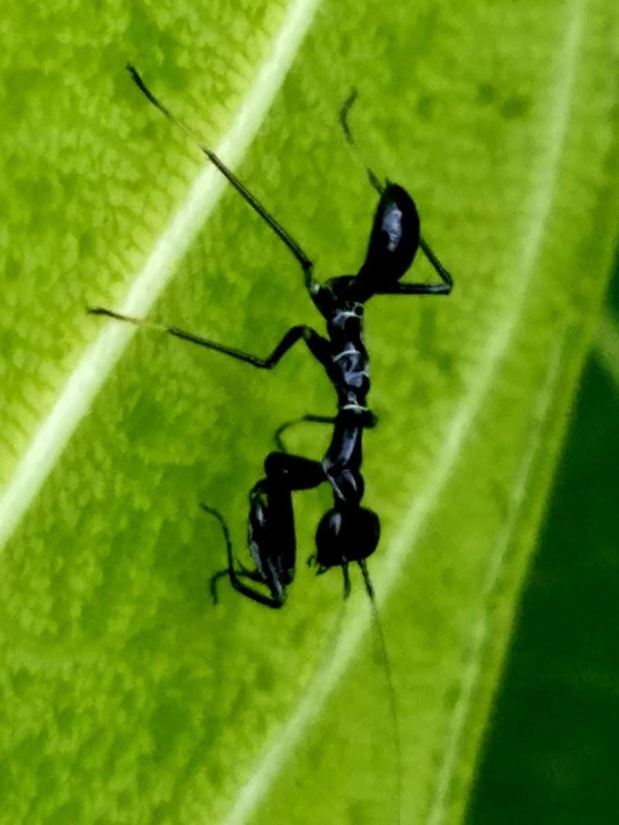 Ant mimicking mantis nymph