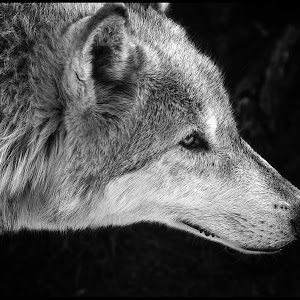 Gray Wolf-3.jpg