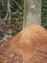Photo: This is the huge compost heap the tree cutter ants made.......great team work!