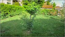 Photo: Copacul  lui Iuda (Cercis canadensis) - de pe Str. Andrei Muresanu, spatiu verde - 2017.06.09  Album comun http://ana-maria-catalina.blogspot.ro/2017/05/plante-diverse-din-comert.html