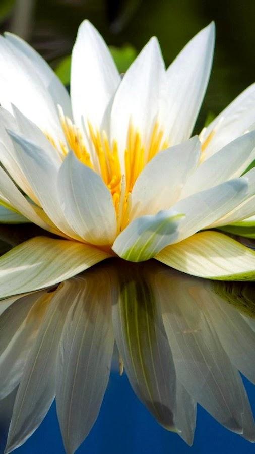 لمحبي الورود تطبيق خلفيات عن وردة الزنبق في غاية الروعة TqZgxb-4GLpyaH079tEH