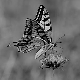 Macaon butterfly by Gérard CHATENET - Black & White Animals