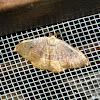 Blair's Mocha moth ♂