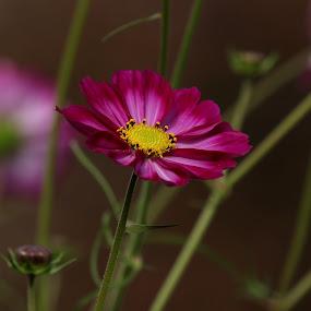 Cosmos  by Michael Velardo - Flowers Single Flower ( nature, cosmos, cosmos flower, flower )