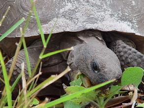 Photo: Gopher Tortoise, South Village, Celebration, FL