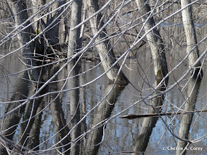 Photo: Silver maples in floodplain