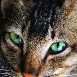 Meet the eye by Alexander Nainggolan - Animals - Cats Portraits ( #portrait, #animals, #cat, #kitten )