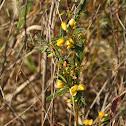 Sensitive Plant or Partridge-Pea