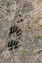 Photo: Tracks (racoon?); Lake Woodruff NWR