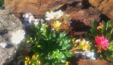 Photo: левизии  в цвету