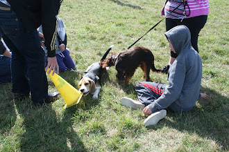Photo: Buddy Beagle having a chew on a cone while Mack Cocker checks him out...