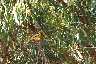 Photo: Bullock's Oriole