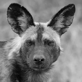 Wild dog in b &w by Anthony Goldman - Black & White Animals ( wild dog, mammal, nature, south africa., londolozi, b & w, wild, wildlife,  )