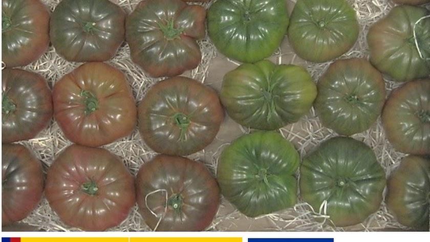 Variedades tradicionales para hacer el tomate almeriense más competitivo