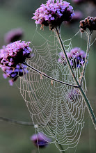 Photo: Orb Web on Verbena bonariensis From one of the rare occasions we had dew this summer when the spiders were still out and about!  For +WebbyWednesday curated by +Celeste Odono  #webbywednesday  And for +Wet Wednesday  #wetwednesday