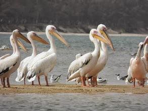 Photo: Pelicans on the river safari at Saint-Louis
