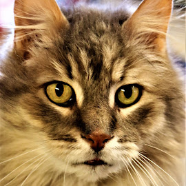 Hecliff  by Linda    L Tatler - Animals - Cats Portraits ( mainecoon, feline, exoticbreed, cat, longhair, pet )