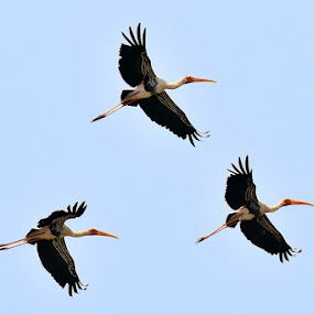 Painted Storks in Flight by Nirmal Neelakandan - Animals Birds ( flight, paintedstorks, wildlife, birds )