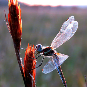 Dragon-fly by Lanie Badenhorst - Animals Insects & Spiders (  )