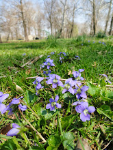 Photo: Wild violets on a forest island at Eastwood Park in Dayton, Ohio.