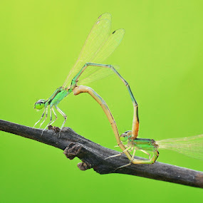 mating by Sjubaidah Luvis - Animals Insects & Spiders