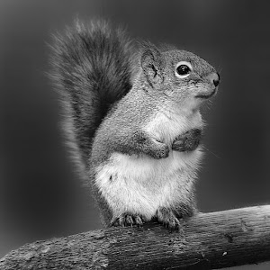 Ecureuil roux américain 2.jpg