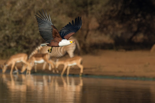 Fish eagle by Dawie Nolte - Uncategorized All Uncategorized ( drinking water hole, fish eagle, water hole, impala, visarend, watergate, dam, reflections, zebra, birds,  )