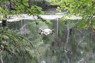 Photo: All sorts of things get carried down the stream when the water is high. Just another day at the 'office'.