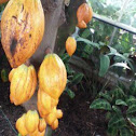 """Cacao Tree (aka """"cocoa"""""""