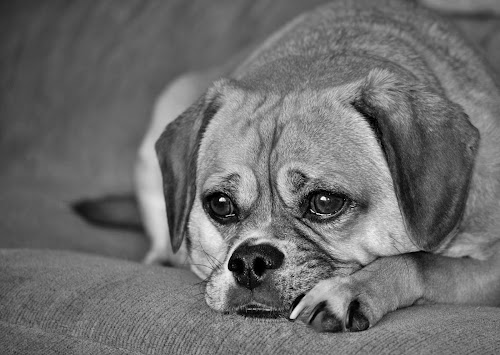 Just Resting. by Monroe Phillips - Black & White Animals