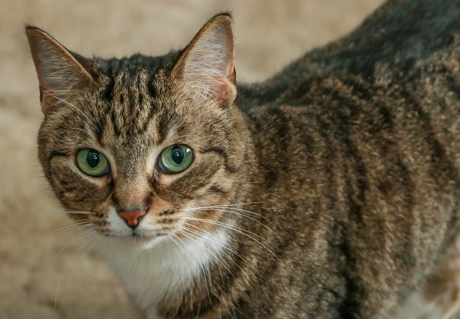 Abby Girl by Wendy Alley - Animals - Cats Portraits (  )