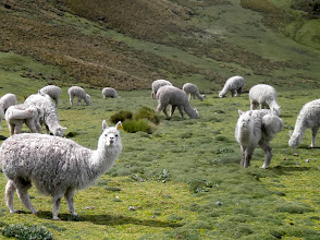 Photo: Ecuadorian alpacas act pretty much like American alpacas. Interested for a bit then, eh, go back to eating.