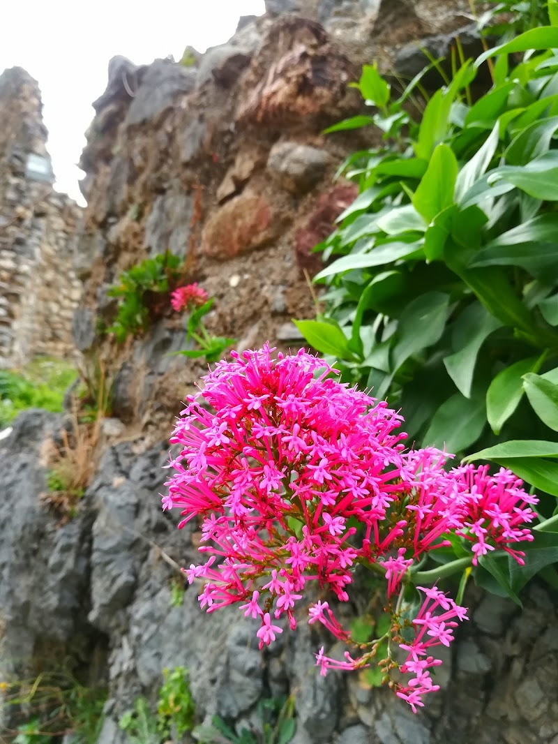 Fiore spontaneo di carmine__photo