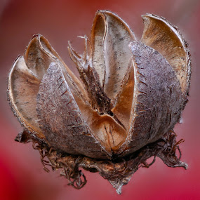 The Pod... by Craig Turner - Nature Up Close Other Natural Objects ( close up, macro, around the house, seed, pod, closeup, stacking )