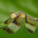 Pied Paddy Skimmer(Female)