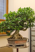 Photo: Bonsai in the university library, where we sought shelter when the rain blew in with a vengeance.