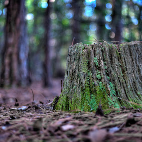 Stump by Jay Kleinrichert - Nature Up Close Trees & Bushes ( stump, nature, tree, low angle, ground, forest, woods )